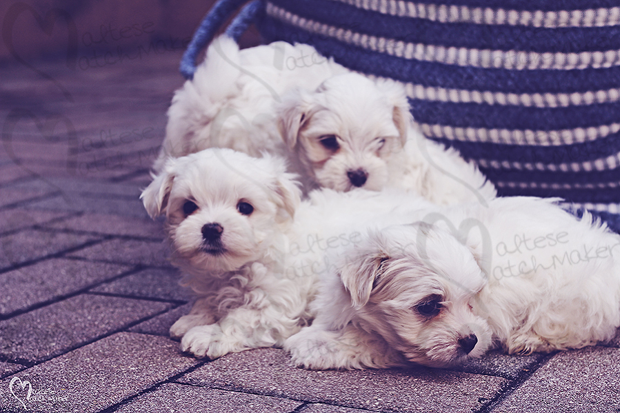 teacup puppies for sale florida puppies for sale tampa puppies MEMES